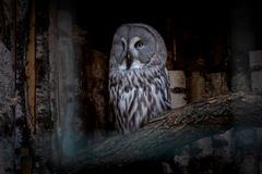 Great Grey Owl or Strix nebulosa on branch close.  royalty free stock photo