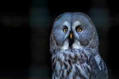 Great Grey Owl or Strix nebulosa on branch close. Great Grey Owl or Strix nebulosa on branch stock photos