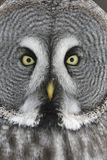 Great-grey owl, Strix nebulosa. Close up of head royalty free stock image