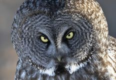 A Great grey owl Strix nebulosa closeup hunts in the winter snow in Canada. Great grey owl Strix nebulosa closeup hunts in the winter snow in Canada stock photography