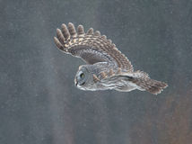 Great Grey Owl (Strix nebulosa) Royalty Free Stock Photos