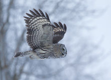 Great Grey Owl (Strix nebulosa) Royalty Free Stock Images