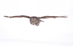 Great grey owl (Strix nebulosa) isolated against a white background hunting over a snow covered field in Canada royalty free stock images