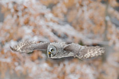 Great Grey Owl, Strix nebulosa, flying bird in the white snow trees with orange autumn forest background Royalty Free Stock Photography