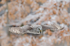Great Grey Owl, Strix nebulosa, flying bird in the white snow trees with orange autumn forest background Stock Image