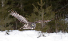 Great grey owl (Strix nebulosa) in flight hunting over a snow covered field in Canada royalty free stock photography