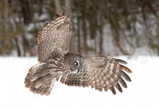 Great grey owl (Strix nebulosa) hunting over a snow covered field in Canada stock images