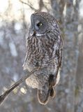 A Great grey owl Strix nebulosa with the glow of the sun the background hunts in the winter snow in Canada. Great grey owl Strix nebulosa with the glow of the royalty free stock image