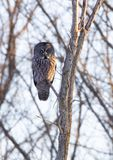 A Great grey owl Strix nebulosa with the glow of the sun the background hunts in the winter snow in Canada. Great grey owl Strix nebulosa with the glow of the royalty free stock photos