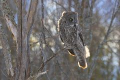 A Great grey owl Strix nebulosa with the glow of the sun the background hunts in the winter snow in Canada. Great grey owl Strix nebulosa with the glow of the stock images