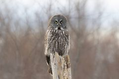 A Great grey owl Strix nebulosa with the glow of the sun the background hunts in the winter snow in Canada. Great grey owl Strix nebulosa with the glow of the stock photo