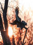 A Great grey owl Strix nebulosa with the glow of the sun the background hunts in the winter snow in Canada. Great grey owl Strix nebulosa with the glow of the stock photos