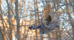 A Great grey owl Strix nebulosa with the glow of the sun the background hunts in the winter snow in Canada. Great grey owl Strix nebulosa with the glow of the royalty free stock images