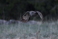 Great grey owl Strix nebulosa. Great grey owl in its natural habitat in sweden stock photos