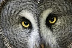 Great grey owl with staring eyes. Great grey owl Strix nebulosa head with facial disc looking forwards with staring eyes slightly defocussed royalty free stock photos