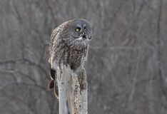 A Great grey owl Strix nebulosa hunts in the winter snow in Canada. Great grey owl Strix nebulosa hunts in the winter snow in Canada royalty free stock photography