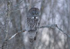 A Great grey owl Strix nebulosa hunts in the winter snow in Canada. Great grey owl Strix nebulosa hunts in the winter snow in Canada stock image