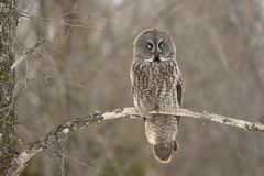 A Great grey owl Strix nebulosa hunts in the winter snow in Canada. Great grey owl Strix nebulosa hunts in the winter snow in Canada royalty free stock photos