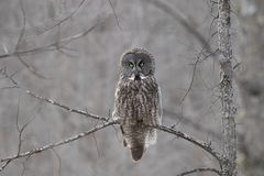 A Great grey owl Strix nebulosa hunts in the winter snow in Canada. Great grey owl Strix nebulosa hunts in the winter snow in Canada stock images