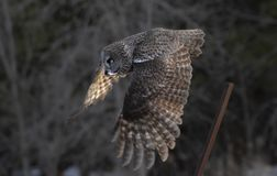 A Great grey owl Strix nebulosa hunts in the winter snow in Canada. Great grey owl Strix nebulosa hunts in the winter snow in Canada stock photography