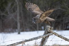 A Great grey owl Strix nebulosa hunts in the winter snow in Canada. Great grey owl Strix nebulosa hunts in the winter snow in Canada stock photos
