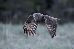 Great grey owl Strix nebulosa. Great grey owl in its natural habitat in sweden royalty free stock images