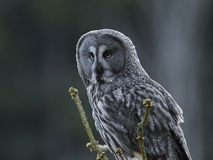 Great grey owl Strix nebulosa. Great grey owl in its natural habitat in sweden stock photo