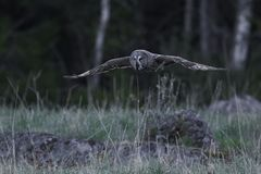Great grey owl Strix nebulosa. Great grey owl in its natural habitat in sweden royalty free stock image