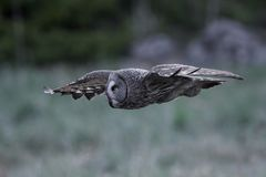 Great grey owl Strix nebulosa. Great grey owl in its natural habitat in sweden royalty free stock photo