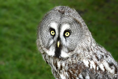 Great grey owl, strix nebulosa Stock Image