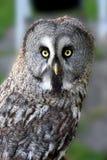 Great grey owl, strix nebulosa Royalty Free Stock Photos