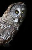 Great grey owl, strix nebulosa Stock Photos
