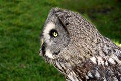 Great grey owl, strix nebulosa Stock Images