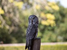 Great grey owl Strix nebulosa. Night birds of prey. Great grey owl Strix nebulosa. Night birds of prey royalty free stock images