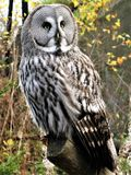 Great grey owl Strix nebulosa perched on a branch Royalty Free Stock Images