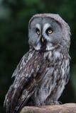 Great Grey Owl (Strix Nebulosa) Stock Photos
