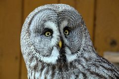 Great Grey Owl, Strix nebulosa Royalty Free Stock Image