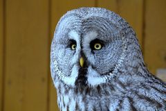 Great Grey Owl, Strix nebulosa Royalty Free Stock Photo