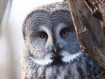 Great grey owl - Strix nebulosa Royalty Free Stock Photo