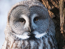 Great grey owl - Strix nebulosa Royalty Free Stock Image
