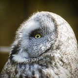 Great Grey Owl Strix Nebulosa Stock Photo
