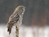Great Grey Owl (Strix nebulosa). On the post in winter, Finland stock photos