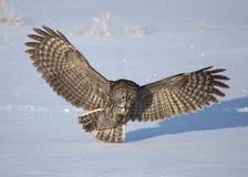 Great grey owl Strix nebulosa preparing to pounce on its prey Stock Photography