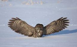 Great grey owl Strix nebulosa preparing to pounce on its prey Royalty Free Stock Image