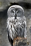 Great grey owl (Strix nebulosa). Great grey owl resting on a branch in its habitat royalty free stock image