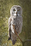 Great grey owl (Strix nebulosa). Great grey owl resting on a branch in its habitat royalty free stock photography