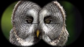 Great Grey Owl Strix nebulosa Seen through Binoculars. Seen through Binoculars. Bird Watching at Wildlife Safari. Shot with a Sony RX10 IV fps 59,94 FHD stock video footage