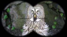 Great Grey Owl Strix nebulosa Seen through Binoculars. Seen through Binoculars. Bird Watching at Wildlife Safari. Shot with a Sony a6300 fps 29,97 4k stock video footage
