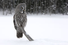 Great-grey owl, Strix nebulosa Royalty Free Stock Images