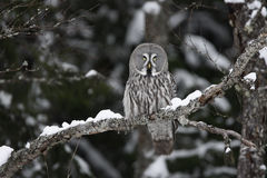 Great-grey owl, Strix nebulosa. Single bird on branch, Finland stock photography
